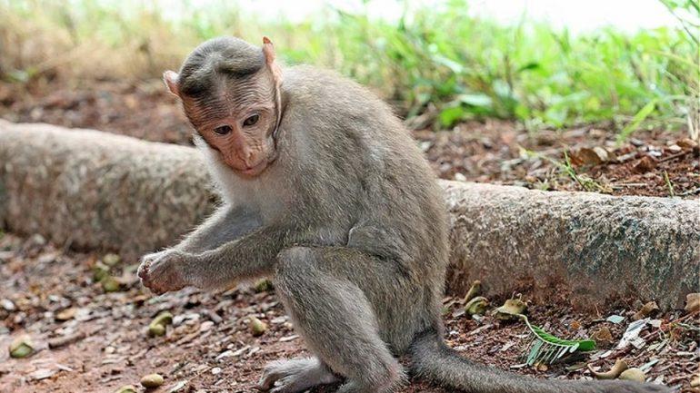 Πίθηκος άρπαξε και πέταξε σε πηγάδι βρέφος 16 ημερών