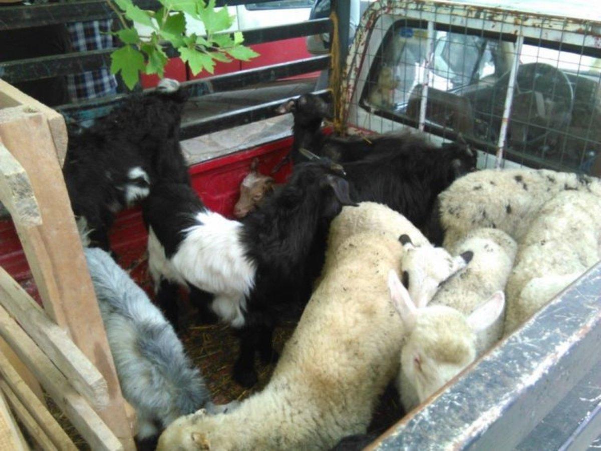 Παρέμβαση Αστυνομίας για βασανισμό ζώων σε παραδοσιακή ζωοπανήγυρη