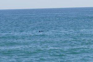 Δελφίνια στα παράλια της Λάρισας (φωτ.)