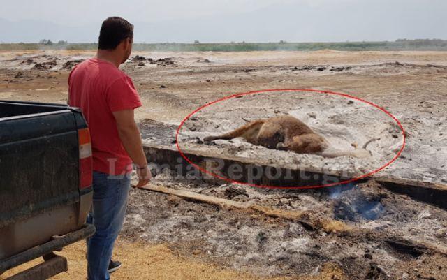 Ζευγάρι κινδύνεψε να καεί για να σώσει αγελάδα