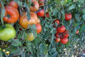 Καταστροφή σε παραγωγούς ντομάτας από το χαλάζι