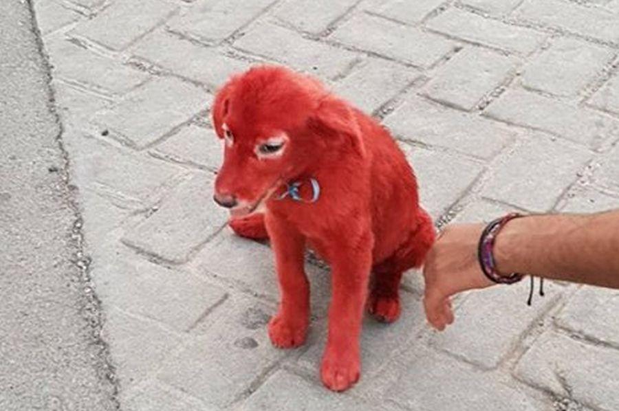 Τραγικό περιστατικό: Έβαψαν κόκκινο με βαφή μαλλιών ένα κουτάβι στη Χαλκίδα