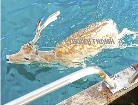 «Ψάρεψε» ελάφι μέσα στη θάλασσα! (βίντεο)