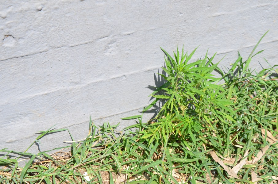 Φύτρωσε χασισόδεντρο σε δημοτικό πάρκο