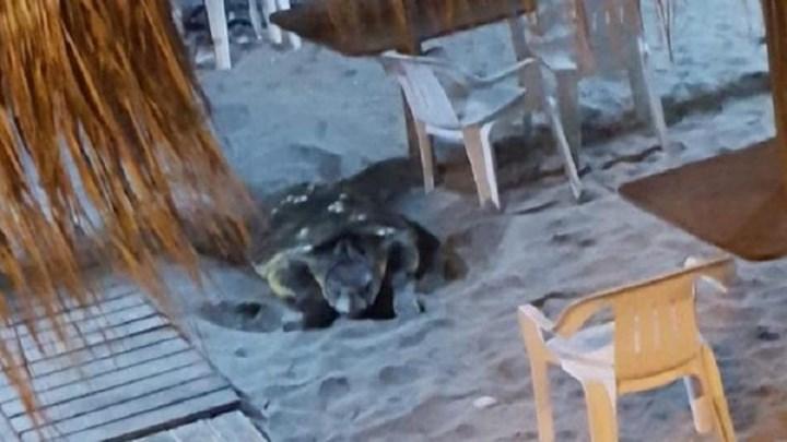 Θαλάσσια χελώνα γέννησε τα αυγά της σε…beach bar