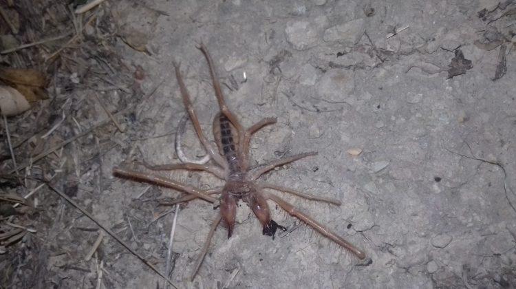 Σπάνιο είδος αράχνης-σκορπιού, εμφανίστηκε στα Τρίκαλα