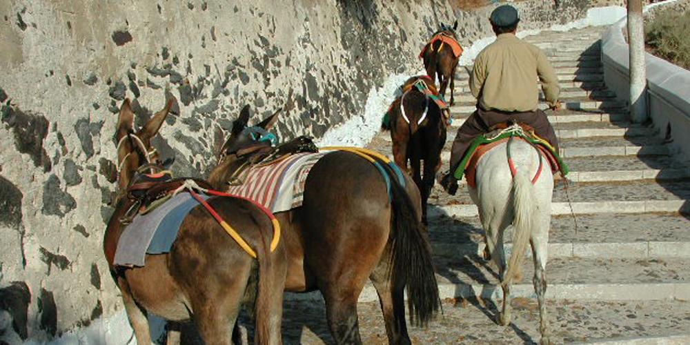 Σαντορίνη: Ζευγαρώνουν γαϊδούρια με μουλάρια για να αντέχουν τους υπέρβαρους τουρίστες!