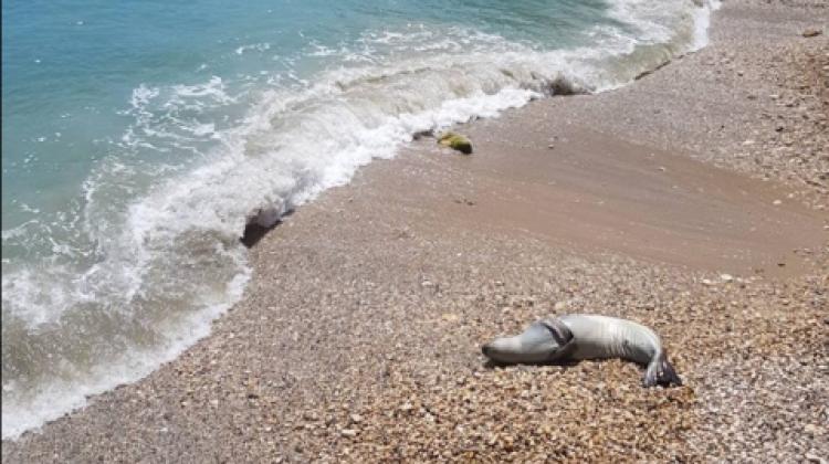 Βγήκε φώκια σε πολύβουη παραλία της Αλονήσσου