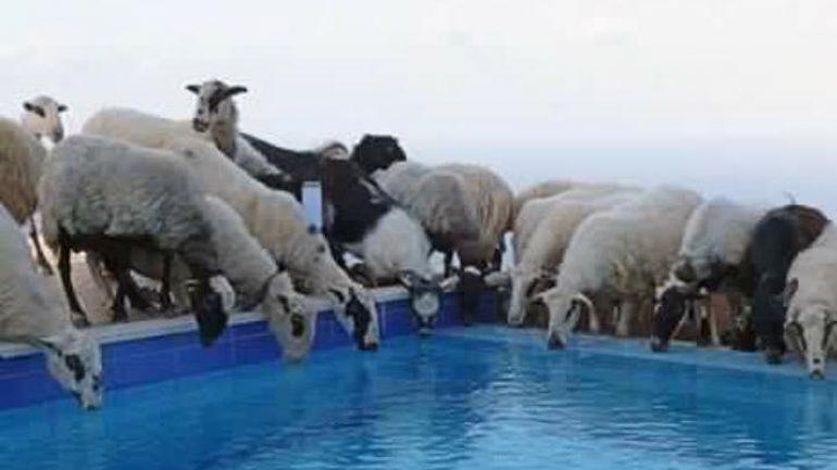 Όταν η πισίνα του ξενοδοχείου εξυπηρετεί τα πρόβατα!