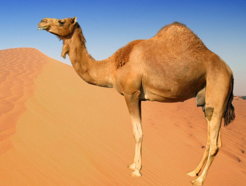 Πουλά την καμήλα του για να εξαγοράσει τη στρατιωτική του θητεία