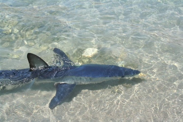 Είδαν τον καρχαρία εκεί που κολυμπούσαν ! (video)