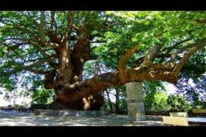 Στη Θεσσαλία ένα από τα γηραιότερα πλατάνια της Ευρώπης