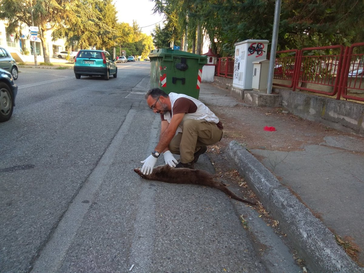 Νεκρή βίδρα σε τροχαίο μέσα στην Καστοριά (φωτ.)