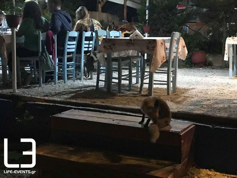Αλεπουδίτσα βγήκε για… φαγητό σε ταβέρνα της Χαλκιδικής