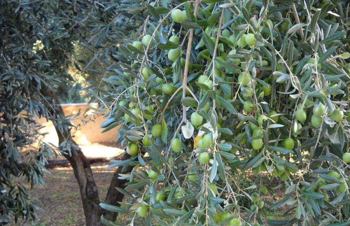 Ζημιές στις ελαιοκαλλιέργειες του Δήμου Τεμπών