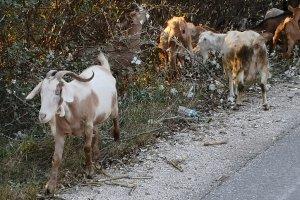 Τρίκαλα: Ελληνικό γίδινο γάλα: Διαχρονική αξία- Πρώτοι στην Ευρώπη σε πληθυσμό γιδιών